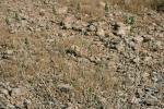 cadi per yavşanı