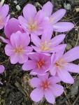 Güz Çiğdemi Colchicum automnale Liliaceae Liliengewaechse